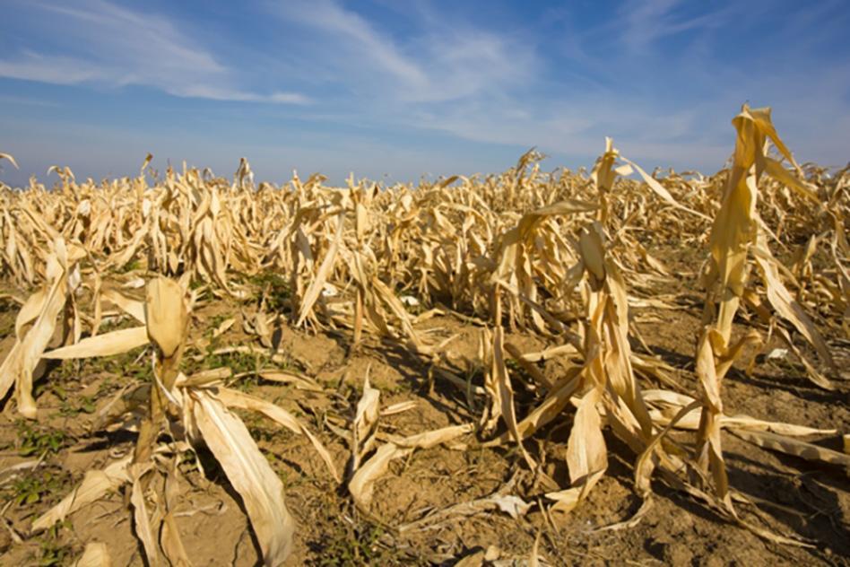 Corn dried_WEB.jpg