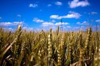 corn field thumb