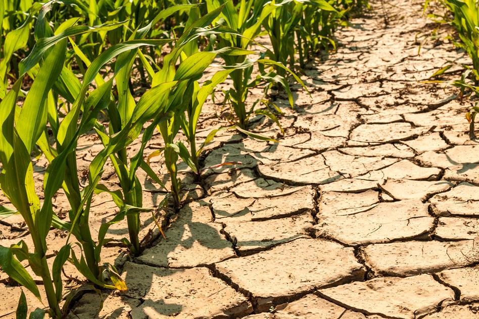MIT-Maize-Drought.jpg